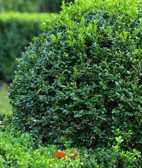 Lone Oak Lawns LLC Shrubs & Hedges